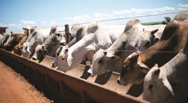 Fazenda Santa Rosa, onde Campanelli cria gado confinado. Foto: Emiliano Capozoli